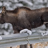 calf easily steps over the guard rail
