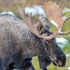 bull moose #1