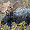 bull moose #1...has a damaged eye and you can see it in this picture