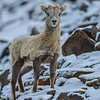 big horn sheep - lamb