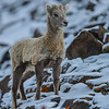 big horn sheep - lamb getting a winter coat