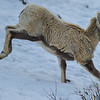 big horn sheep - lamb looking for mom