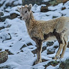 big horn sheep - lamb, getting a winter coat