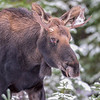 young bull moose #4 - it was very cautious as the larger bull is just a few feet away