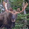 bull moose #3