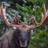 bull moose #3 - you can see a war wound on the right antler and his left ear is all bloody