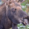 bull moose #4 getting worried as the boss approches