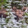 young bull moose #4 - thinks I can't see it