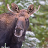 young bull moose #4