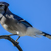 blue jay talking a lot
