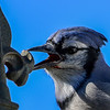 blue jay...can you hear me now...