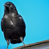 raven on a roof