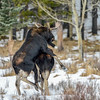 2 Bull Moose - getting a little excited over a wrong partner