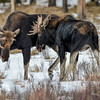2 Bull Moose - back at the fighting again