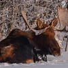 Bull Moose - wishing it had a Tim's....lol