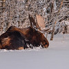 Bull Moose - resting after a hard day at the office :)