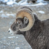 Big Horn Sheep - lone ram