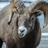Big Horn Sheep - lone ram, being a bit cheeky sticking it's tongue out at me...lol