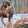 calf moose with mom in the background