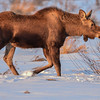 calf moose in the setting sunlight