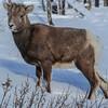 Rocky Mountain Bighorn Sheep - lamb