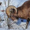 Rocky Mountain Bighorn Sheep - larger ram