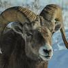 Rocky Mountain Bighorn Sheep - small ram