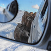 Rocky Mountain Bighorn Sheep - looking in the mirror