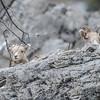 Rocky Mountain Bighorn Sheep - watching the show