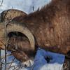 Rocky Mountain Bighorn Sheep - ram