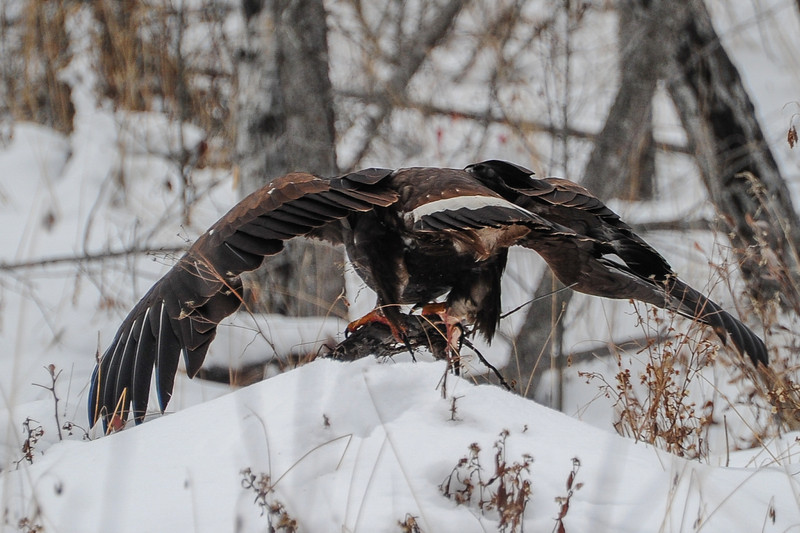 Golden Eagle - this eagle was feasting on a deer carcass and it had eaten so much it had trouble taking off