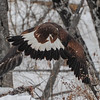 Golden Eagle - it got into the air for a few seconds and then crashed to the ground, shook itself off and tried again