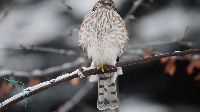 sharp shinned hawk<br /> Sorry I thought this was a Merlin and titled it that way but was corrected by my good friend Mark and have changed the title...thanks for the help Mark!