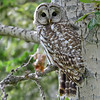 barred owl - adult