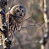 "barred owl - adult - The Barred Owl's hooting call, ""Who cooks for you? Who cooks for you-all?"" is a classic sound.<br /> They are a large, round headed owl with no ear tufts and  large black eyes.  You can go to this link if you would like to hear their neat call: <a href=""http://www.allaboutbirds.org/guide/barred_owl/sounds"">http://www.allaboutbirds.org/guide/barred_owl/sounds</a>"