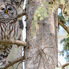 barred owl - adult, puffed up chin before it makes a call