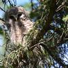 barred owl - owlet