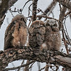 Great Horned Owl - mom & 2 owlets
