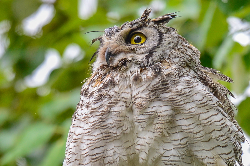 Great Horned Owl - adult a little wet