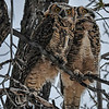 Great Horned Owl - 2 owlets in a snow storm