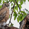 Great Horned Owl - owlet in a rain storm