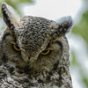 Great Horned Owl - adult giving me the look