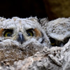 Great Horned Owl - 2 owlets