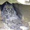 Great Horned Owl - mom & owlet nesting in a cave