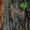 Great Horned Owl - owlet during a heavy rain, not looking happy