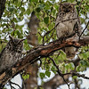 Great Horned Owl - 2 adults