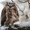 Great Horned Owl - owlet cold and in a snow storm