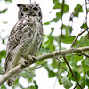 Great Horned Owl - adult