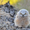Great Horned Owl - owlet giving me the look