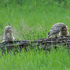 Great Horned Owl - owlets feeding time